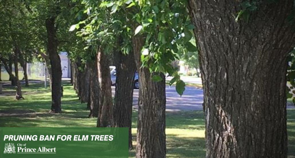 elm tree pruning Ban